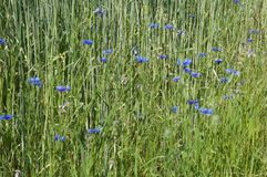 Cornflowers in a grain field Stock Image