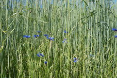 Cornflowers in a grain field Stock Photos