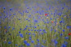 Cornflowers i maczk?w pole zdjęcia royalty free