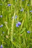 Cornflowers i żyto Zdjęcie Stock