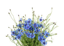 Cornflowers isolated on white without shadow Royalty Free Stock Photos