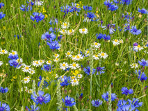 Cornflowers and marguerites Royalty Free Stock Image