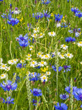 Cornflowers and marguerites. In spring Stock Image