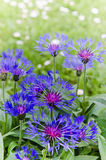 Cornflowers in the meadow, close-up Stock Photos