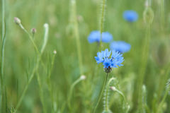 Cornflowers in the meadow stock photo