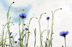 Cornflowers in the meadow Royalty Free Stock Photos