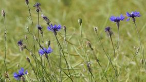 Cornflowers Royalty Free Stock Photos