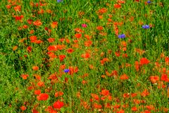 Cornflowers and poppies in a field bouquet stock photos