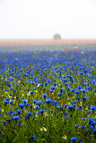Cornflowers, poppies and fog. Flowering Pian Grande Castelluccio di Norcia - Umbria Marche Italy Stock Images
