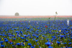 Cornflowers, poppies and fog. Flowering Pian Grande Castelluccio di Norcia - Umbria Marche Italy Stock Photography