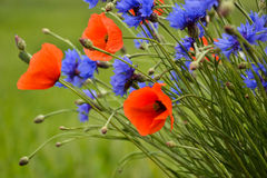 Cornflowers and poppies standing out. Poppies and cornflowers showing up Stock Images