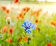 Cornflowers and poppy Royalty Free Stock Images