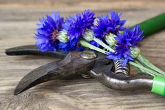 Cornflowers and pruner Royalty Free Stock Images