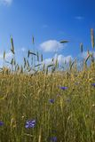 Cornflowers and rye. Field of rye with cornflowers under blue skies Stock Photos