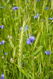 Cornflowers and rye. After rain shining brightly Stock Photo