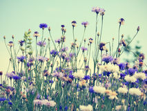Cornflowers on sky background Royalty Free Stock Photos