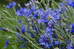 Cornflowers in summer (Centaurea cyanus) Stock Photography