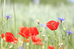 Cornflowers surrounded by poppies Stock Images