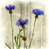 Cornflowers Stock Photos