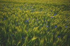Cornflowers on triticale field Royalty Free Stock Images