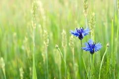 Cornflowers in un campo Fotografia Stock Libera da Diritti