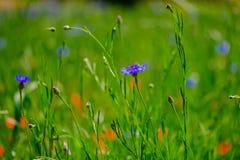 Cornflowers w polu obraz stock
