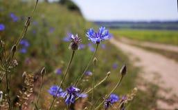 Cornflowers w polu blisko drogi Chabrowy - dziki kwiat ja obraz stock