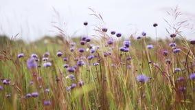 Cornflowers w wiatrze zdjęcie wideo