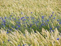 Cornflowers Between Wheat royalty free stock photography