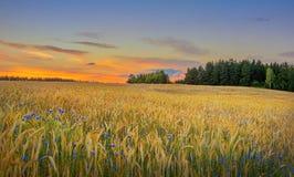 Cornflowers in wheat field Royalty Free Stock Photo