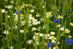 Cornflowers in a wheat field. Chamomile, cornflowers Royalty Free Stock Photos