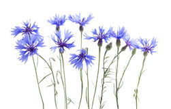 Cornflowers on white Royalty Free Stock Images