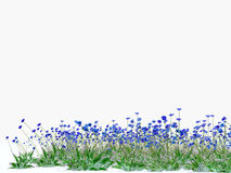 cornflowers on white background Royalty Free Stock Photos