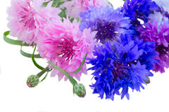 Cornflowers on white Royalty Free Stock Photography