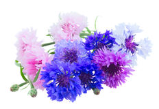 Cornflowers on white Stock Images