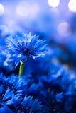Cornflowers. Wild Blue Flowers Blooming royalty free stock image