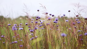 Cornflowers in the wind stock video footage