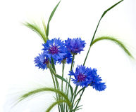 Cornflowers y oídos foto de archivo libre de regalías