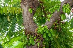 Cornichon d'arbre Photo libre de droits