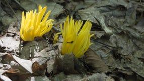 Corniculata di Clavulinopsis fotografia stock