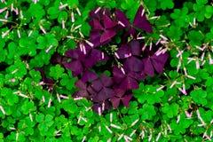 Corniculata do trevo-Oxalis fotos de stock royalty free