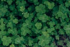 Corniculata do trevo-Oxalis fotografia de stock royalty free
