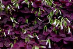 Corniculata dos triangularis-Oxalis de Oxalis imagem de stock royalty free