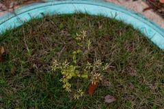 Corniculata seco da azeda-Oxalis fotos de stock