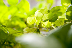 corniculata szczawik zdjęcia royalty free