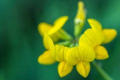 corniculatus amarillo hermoso de Lotus de la flor con los pétalos hermosos Fotos de archivo