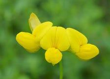 Corniculatus de Lotus de minette de s-pied de ` d'oiseau Photos libres de droits