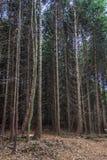 Corniferous-Fichten-Baumwald im Herbst lizenzfreies stockbild