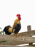 Corniglia Rooster 02 Royalty Free Stock Image