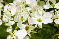 Corniolo di fioritura Fotografia Stock Libera da Diritti